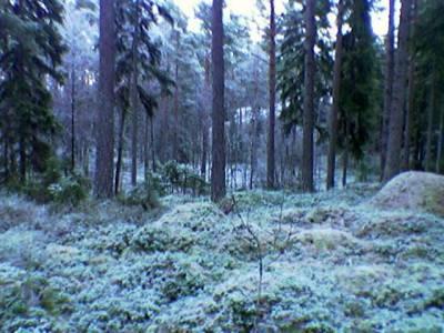 Mehevä metsä, miten kaunis vaikka kylmä!